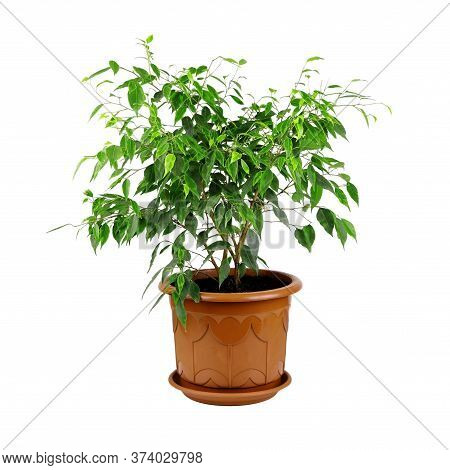 Ficus Benjamina In A Brown Pot Isolated On A White Background. House Plant.pot With Ficus