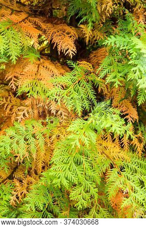Orange And Green Branches Of Thuja. Nature And Plants In The Summer.