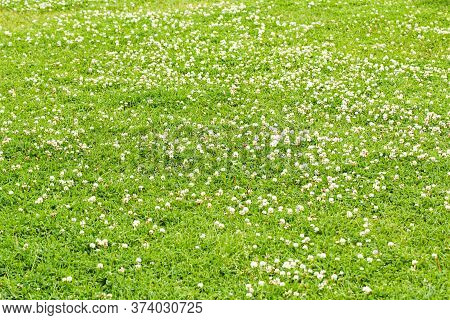 Field With White Clover Flowers. Nature And Plants In The Summer.