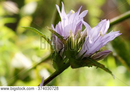 Lilac Flower On The Stem. Nature And Plants In The Summer.