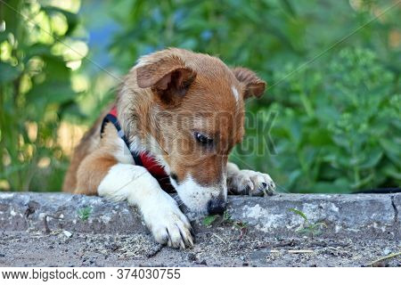 Red-haired Puppy Lies On The Curb With His Paw Hanging Down. Beautiful Puppy On A Background Of Gree