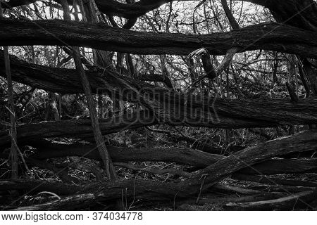Monochrome Abstract Dead Tree Lying Horizontally In Front Tangled Mess Of Dry Dead Trees.