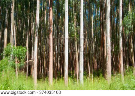 Abstract Motion Blur Tall Trees On Hamakua Coast, Eucalyptus Tree Plantation Forestry.