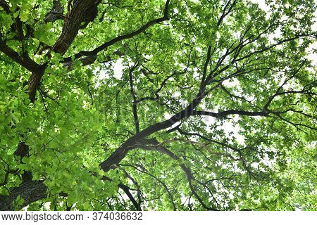 The Trunk And Branches Of An Old Oak Tree Viewed From Below. Crown Of An Old Oak. Very Old Oak In Th