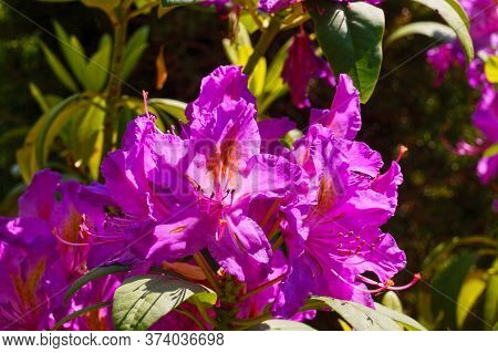 Spring Flowering. Close-up On The Petals Of A Pink-purple Rhododendron Flower.