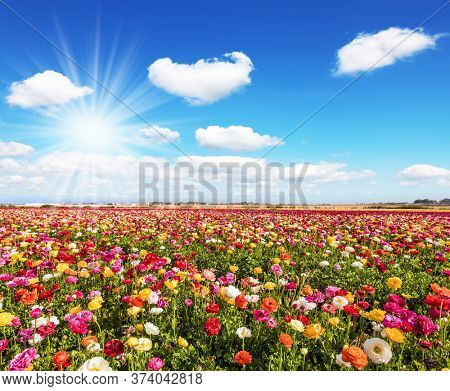 Spring in Israel. Easter week. Bright lush spring blooming of garden buttercups  in the farm field. Concept of active and ecological tourism