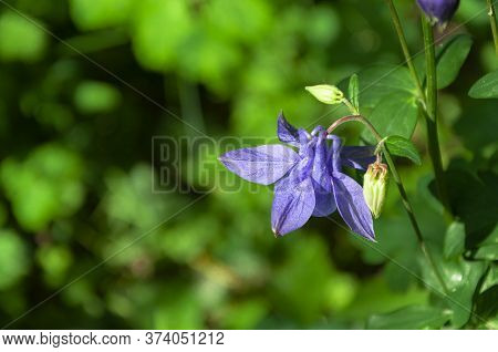 Close Up Of An Aquilegia Canadensis Or Blue Columbine In Full Bloom