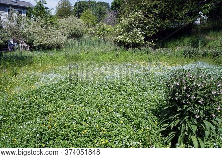Common Comfrey [symphytum Officinale], Also Called True Comfrey, Blooms Among Creeping Buttercup (ra