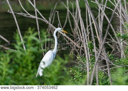 A Great White Egret Hunting For Food Among The Bushes, Reeds, And Dead Trees In The Shallow Water Ne