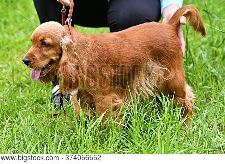Dog Breed English Cocker Spaniel - Breed Of Hunting Dogs