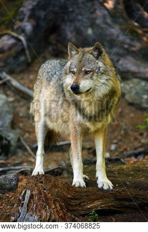 The Grey Wolf Or Gray Wolf (canis Lupus) Standing In The Forest. A Big Wolf In The Central European