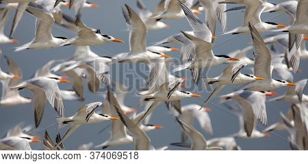 Seagulls Flying In Rows In The Blue Sky, Seagulls Migrating At Sunset
