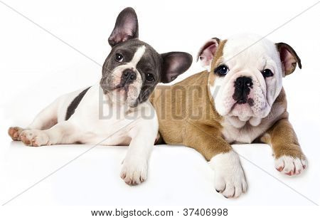French Bulldog and english Bulldog puppy