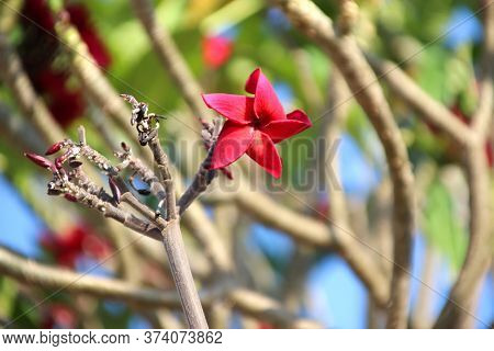 1 Red Plumeria Or Frangipani Flower On Leafless Tree Branches, Cambodia