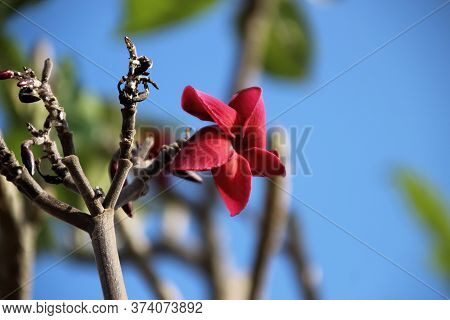 2 Red Plumeria Or Frangipani Flower On Leafless Tree Branches, Cambodia