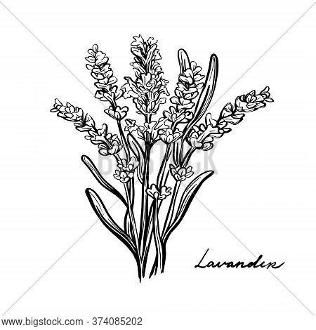 Lavender Flowers, Provence Herbs. A Sprig Of Lavender Grass Isolated On A White Background. Hand Dra