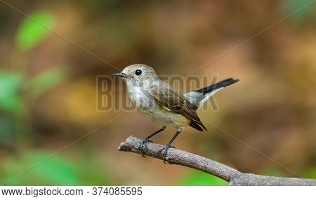 Asian Brown Flycatcher (muscicapa Dauurica) On Branch In Doiinthanonchiangmai. Thailand
