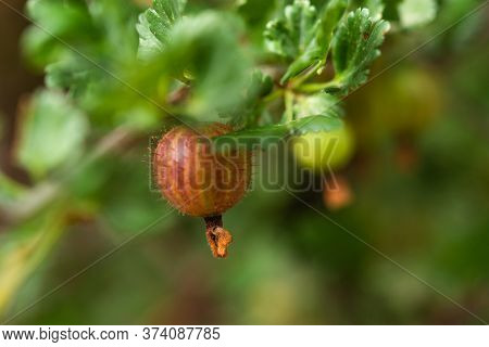 Ripe Gooseberries On A Branch In The Garden. Sweet Summer Berry On A Blurry Background. Picking Ripe