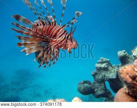 Lionfish. Fish - Type Bone Fish Osteichthyes. Scorpaenidae. Winged Warrior.fish Zebra. Lionfish, Lio