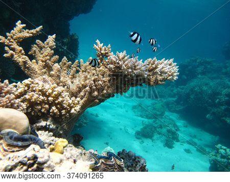 Fishes. Whitetail Dascyllus. Fish - A Type Of Bone Fish Osteichthyes. Pocacentric - Pomacentridae. Z