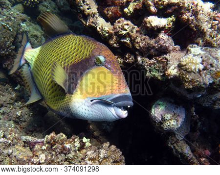 Titan Triggerfish: This Triggerfish Grows Up To 75 Cm; It Feeds On Corals, Sea Urchins, And Crustace