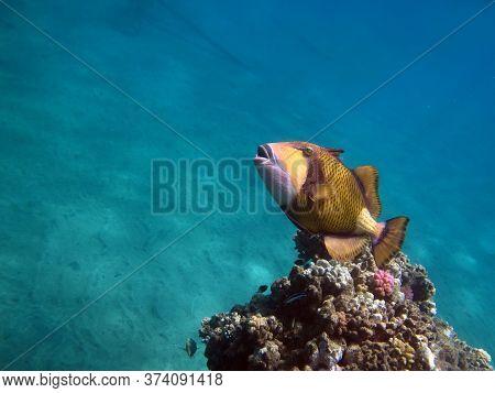Titan Triggerfish. Fishes - Type Of Bone Fish Osteichthyes. Spinorogovye (balistidae). Blue-gray Bal
