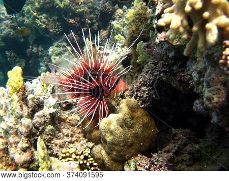 Broadbarred Firefish. Fishes Are A Type Of Bone Fish Osteichthyes. Scorpaenidae. Radiant Lionfish.