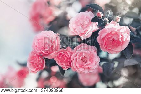 Beautiful Vintage Card With Blooming Rose Flowers In Bushes In Sunlight Outdoor, English Garden And