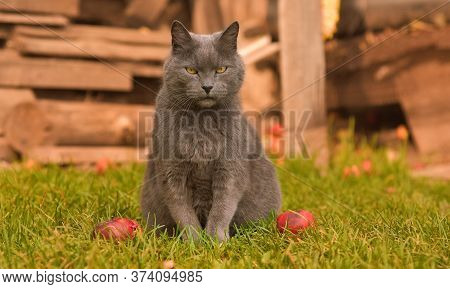 Portrait Of A British Cat In The Green Grass In Summer. Beautiful British Cat With Yellow Eyes Outdo