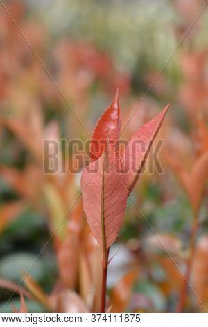 Photinia Red Robin Leaves - Latin Name - Photinia X Fraseri Red Robin