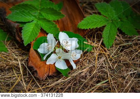 Wild Jasmine Flowers On The Hay. A Branch Of Wild Jasmine, Tree Bark And Green Leaves Lie On The Hay