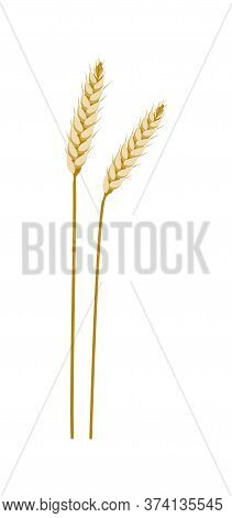 Agriculture Wheat, Rye, Barley. Spike, Grain Eco Harvest Vector Illustration Isolated