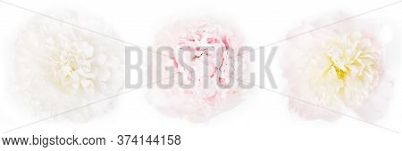 Three Beautiful Light Peonies On A White Background, Top View, Panoramic Format, The Concept Of Beau