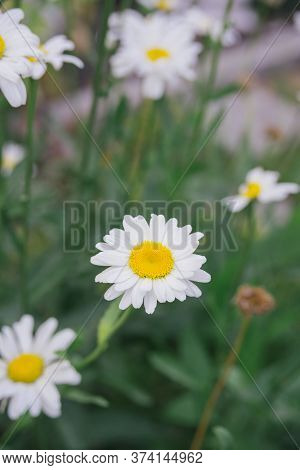 Fresh White Daisy On Green Meadow Gras Background, Close-up Top View, Vertical Outdoors Stock Photo