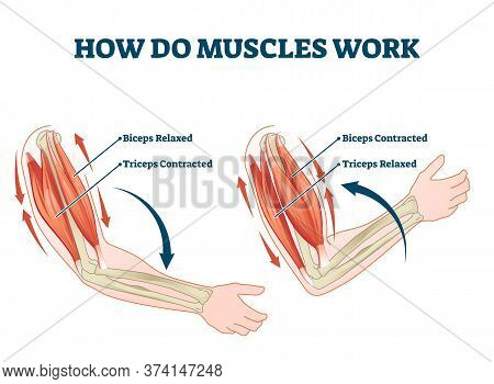 How Do Muscles Work Labeled Principle Explanation Scheme Vector Illustration. Anatomical And Physica