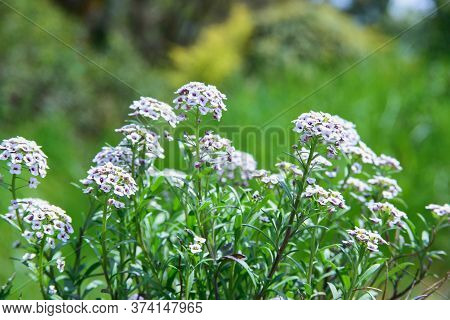 Bush Of Alyssum Flower With White And Violet Petals In Flowerbed In Park Or Garden, Horizontal Close