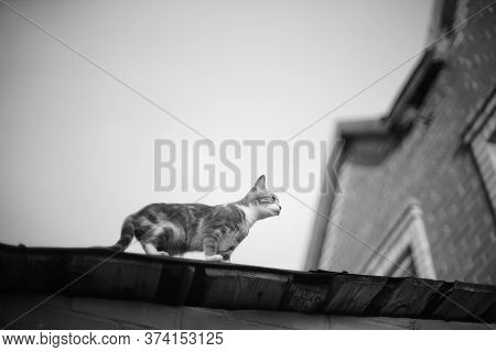 Cute Cat Walk On The Roof. Bw Photo