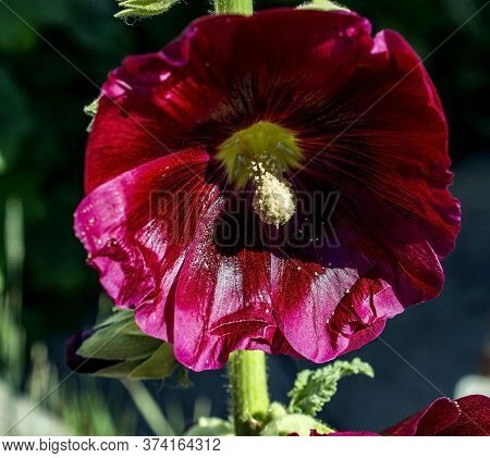 Beautiful Dark Red Flower Mallow, Latin Name Alcea Rosea, Close-up
