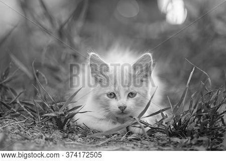 Cute Kitten Resting In The Garden. Bw Photo