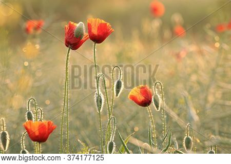 Poppies spring meadow Nature background Nature background White Flowers Nature field morning Nature background Macro Nature background chamomile sunset sun Nature background red Poppy sunrise Nature background outdoor Nature background Wildflowers.