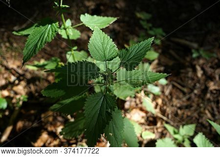 The Stinging Nettle Occurs Almost Everywhere In Germany And Is An Important Plant For Caterpillars A