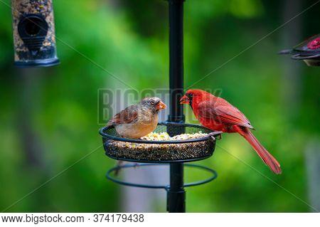 A female and male Northern Cardinal feeding