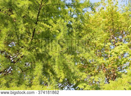 Green Branch Of Larch With Fresh Leaves Backlit By The Sun, Natural Spring Background