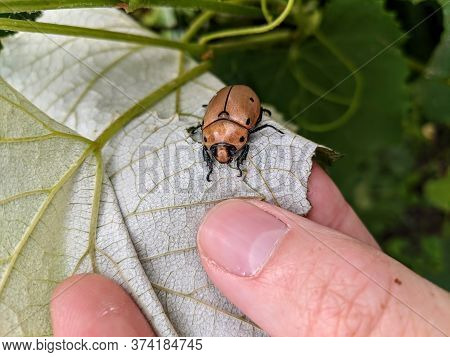 A Grapevine Beetle (pelidnota Punctata) Crawling On A Grape Leaf Held By A Person's Hand.