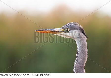 Interested Grey Heron Observing Surroundings In Summer Wetland.