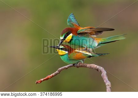 Two European Bee-eaters Copulating In Breeding Season With Green Background