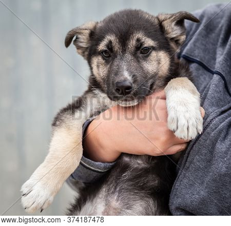 A Homeless Puppy Of A Large Dog In The Caring Hands Of A Man.