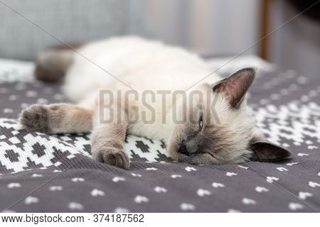 Portrait Of A Thai Kitten, Who Sleeps Soundly On The Plaid.