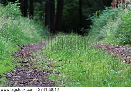 Natural Path In The Forest With Grass On The Median