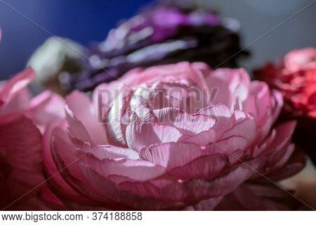 Real Pretty Pink Open Ranunculus On Dark Background
